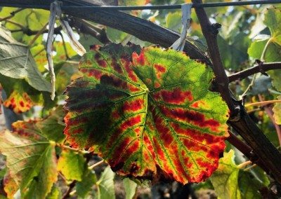 pinot leaves